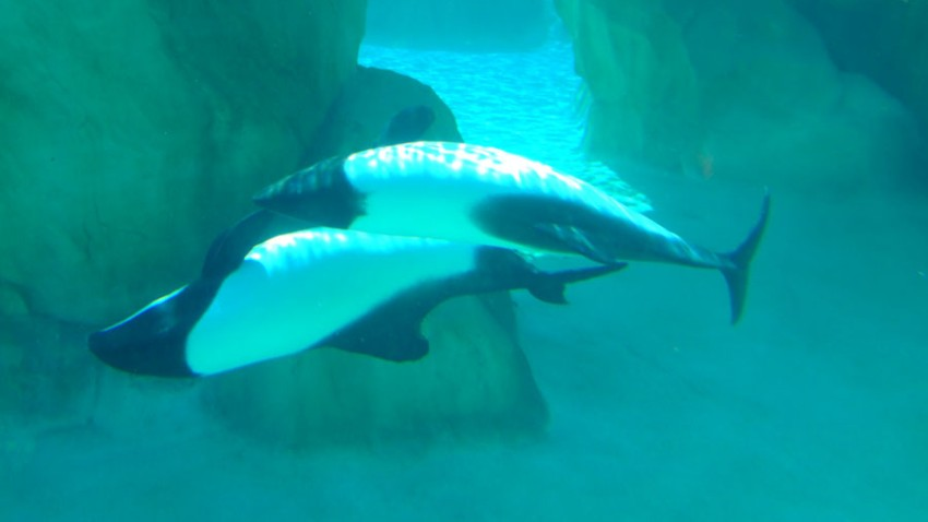 Commersons-Dolphins-1